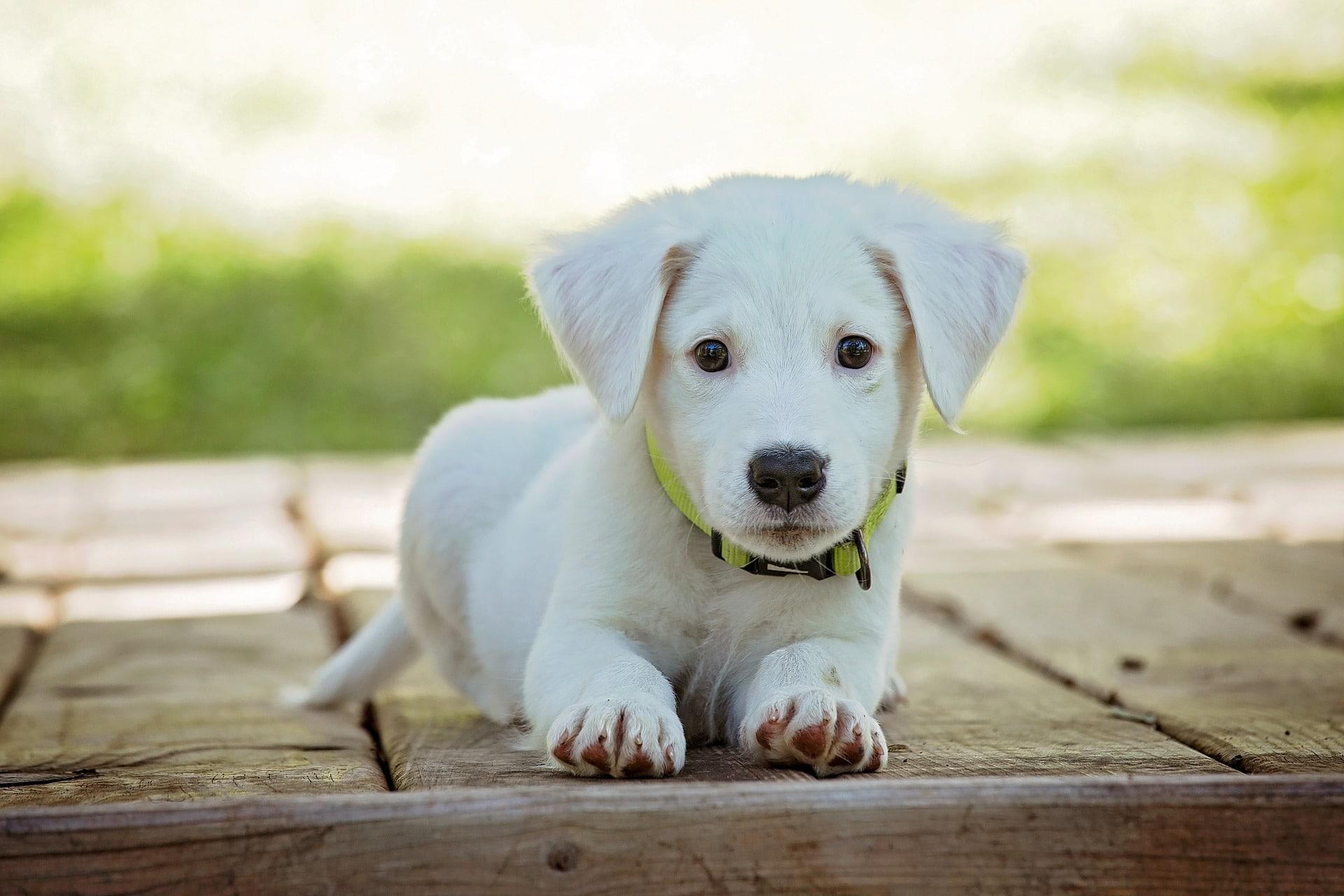 A quel âge pouvons-nous dresser un chien : pourquoi le dresser ?