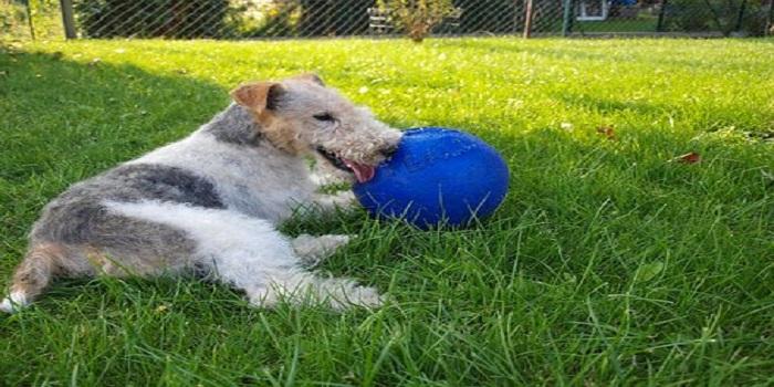 Fox Terrier : comment l'éduquer ? Conseils de dressage
