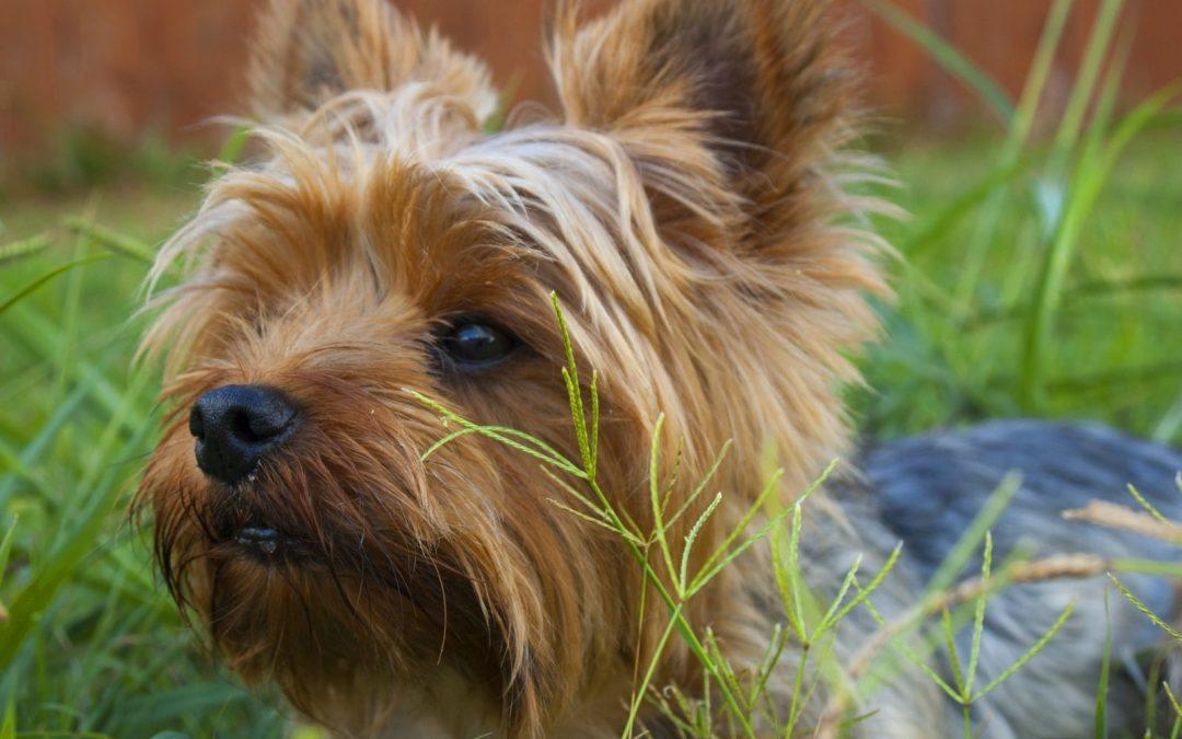 Yorkshire terrier : comment l'éduquer ? Conseils de dressage