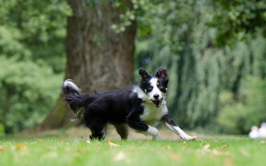 Comment aider un chien hyperactif à se défouler?