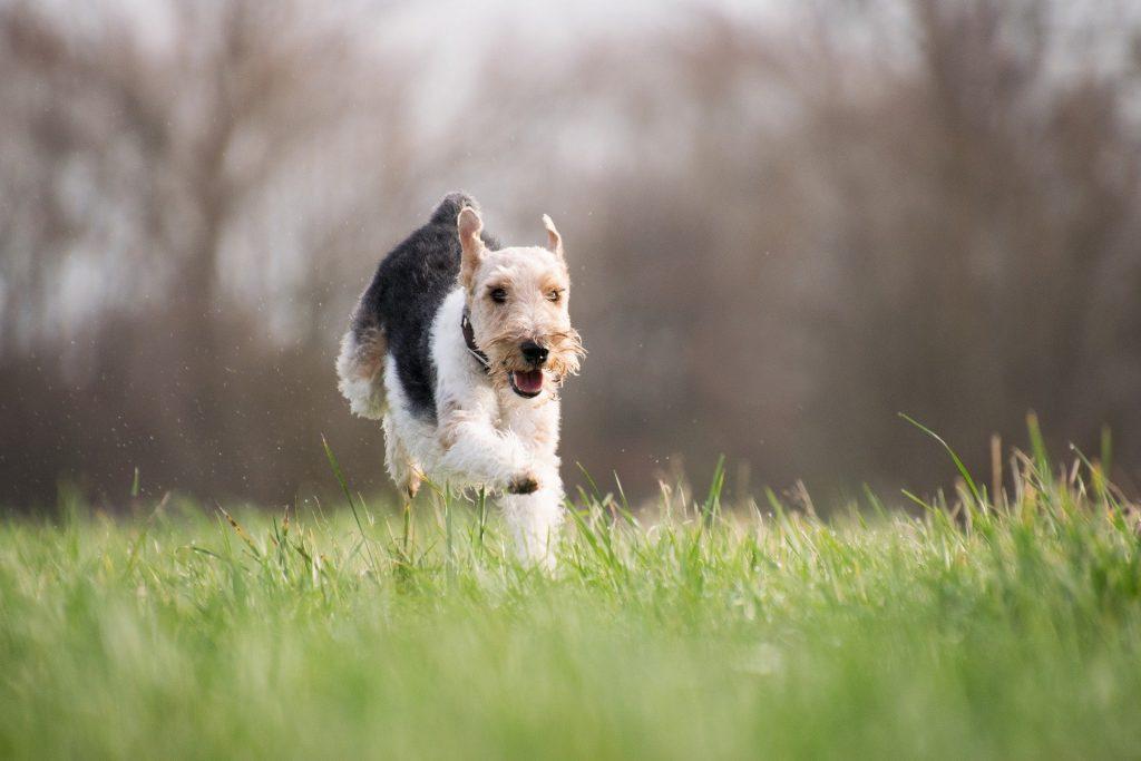 actif chien