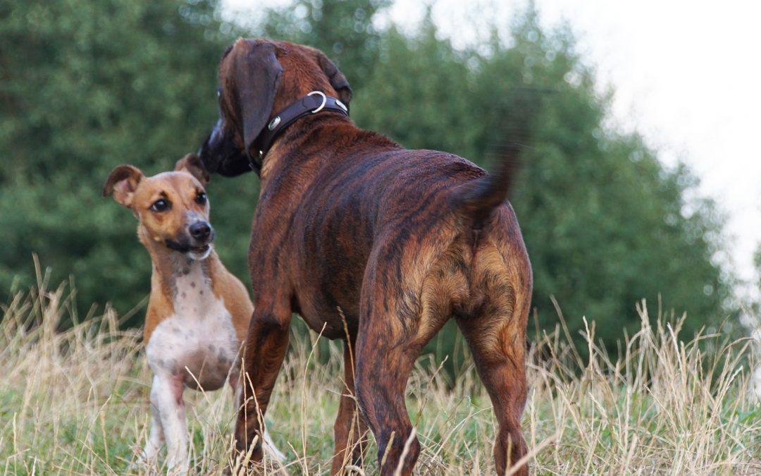 Comment socialiser convenablement un chien?